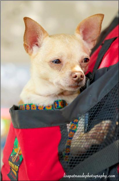 Yankee Chihuahua Rescue